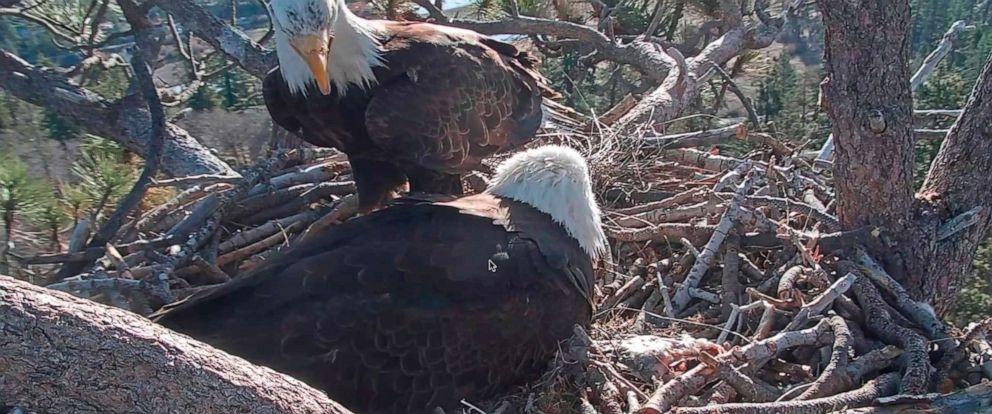 PHOTO:A bald eagle cares for a hatched eagle, April 15, 2019, near Big Bear Lake, Calif.