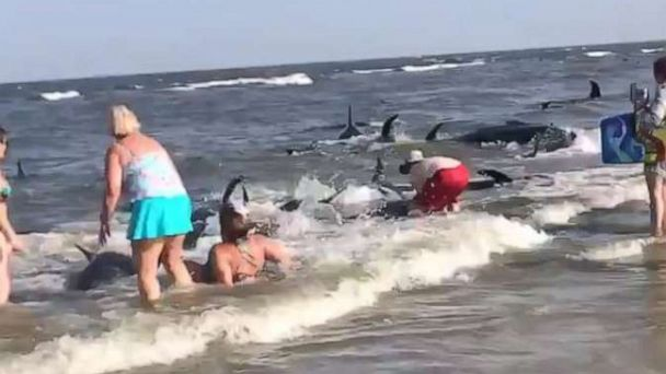 Beachgoers attempt to push more than 20 beached pilot whales back into the ocean in Georgia