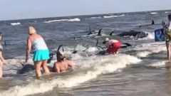 7dfb7f0a8 Beachgoers attempt to push more than 20 beached pilot whales back into the  ocean · '