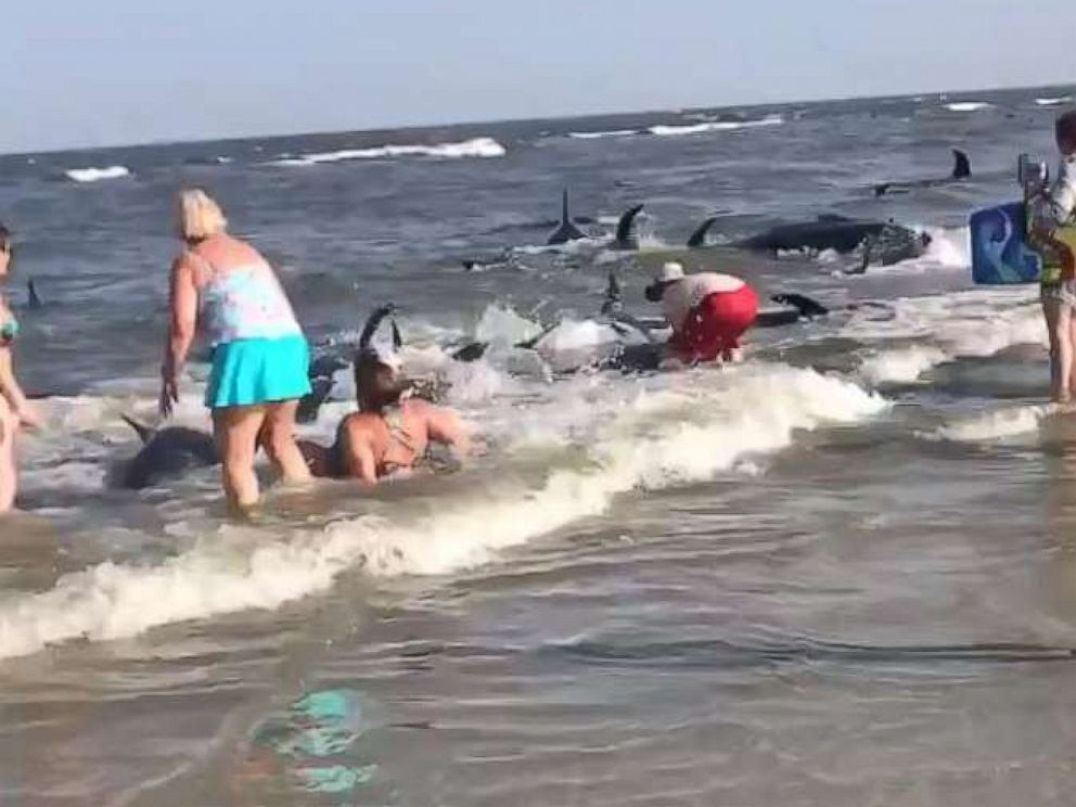 PHOTO: Beachgoers on St. Simons Island in Georgia attempted to push pilot whales back into the ocean after they beached themselves on Tuesday, June 16.