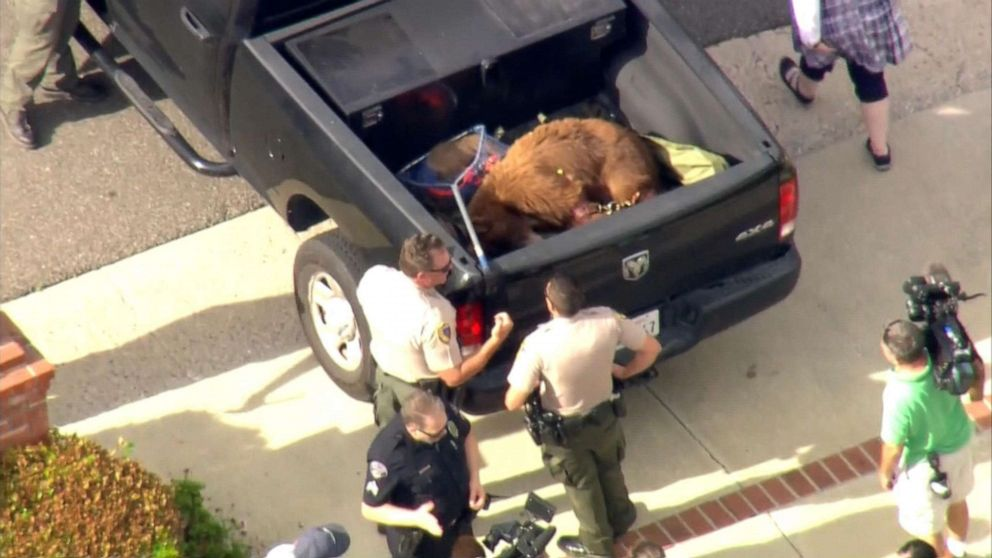 PHOTO: Animal control officers capture a bear that attacked a man and his dog in Sierra Madre, Calif., June 10, 2019.