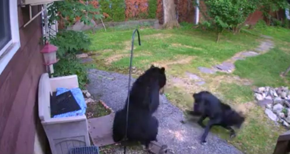 PHOTO: A New Jersey dog was able to scare off a bear that was in a neighbors backyard.