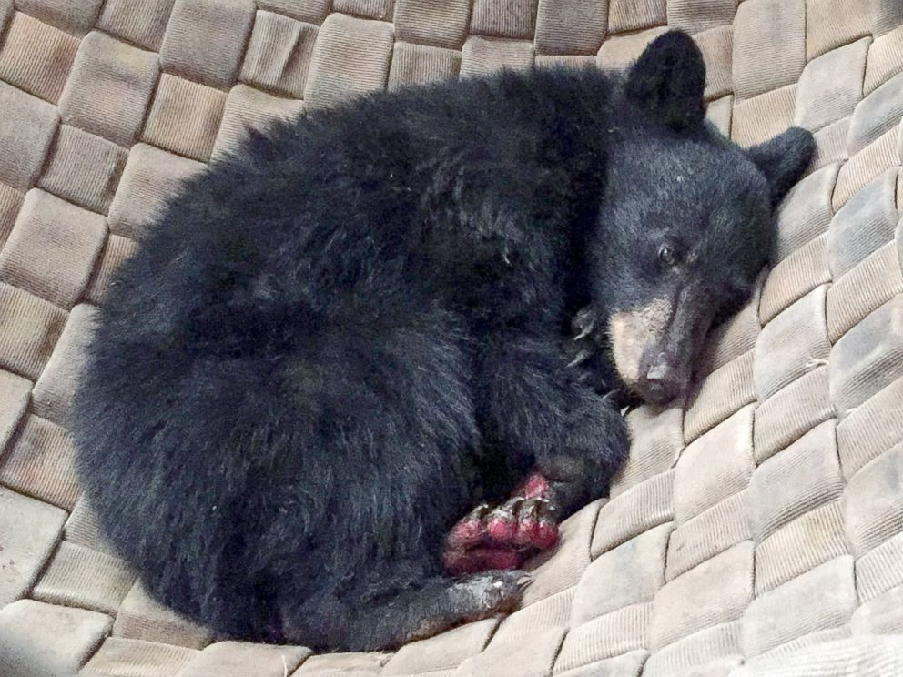 PHOTO: A young, female bear with paws badly burned in the Carr Fire is rescued by the California Department of Fish and Wildlife, and is treated with fish skin.