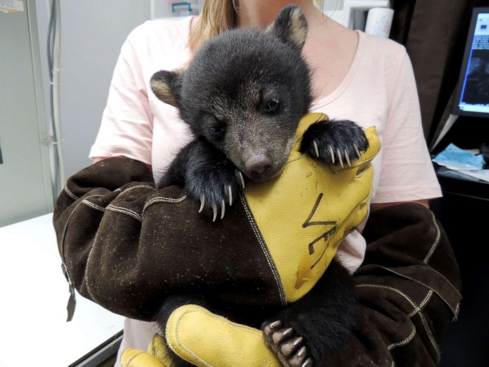 PHOTO: The bear cubs are rehabilitating at Wildlife Center of Virginia after being rescued by a Virginia State Trooper.