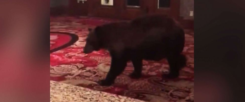 PHOTO: A bear walks through the lobby of the Stanley Hotel in Estes Park, Colo., in a video posted to the hotels Facebook page on Aug. 23, 2018.