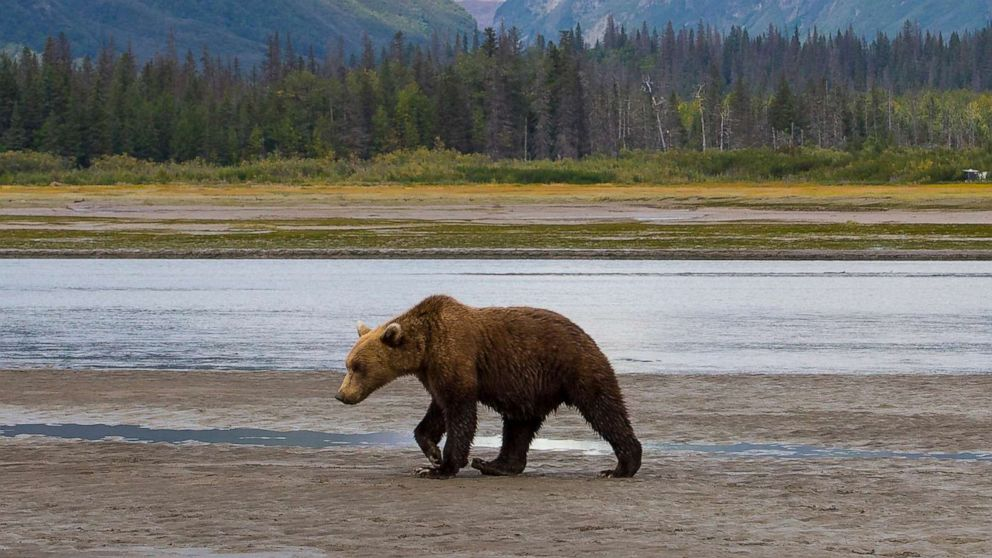 Teen fights off charging grizzly with bear spray after being pinned face-down on the ground