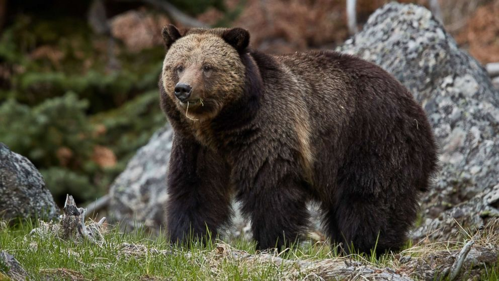 71 Year Old Woman Injured Severely In Bear Attack Recounts The Horrible Experience