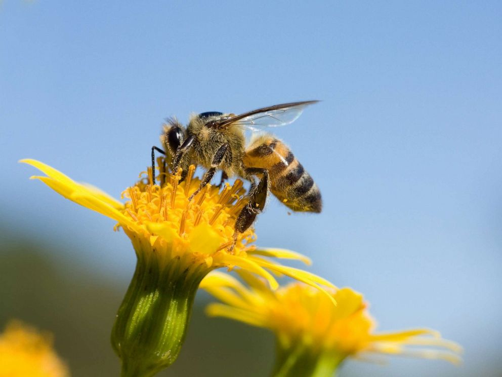 PHOTO: A honeybee is shown sitting on a yellow flower.