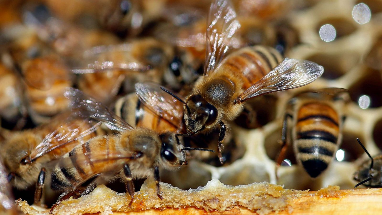 Nearly 40% decline in honey bee population last winter
