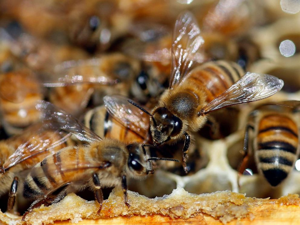 PHOTO: Honeybees are shown on a frame at beekeeper Denise Hunsakers apiary, Monday, May 20, 2019, in Salt Lake City.