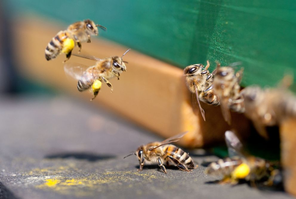 PHOTO: Honeybees fly into the beehive bringing pollen.