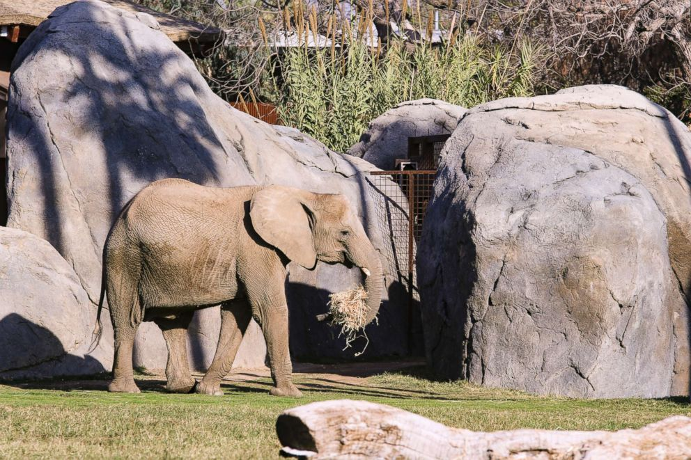 PHOTO: An 11-year-old African elephant, Bets, died at the Fresno Chaffee Zoo on Feb. 9, 2019.