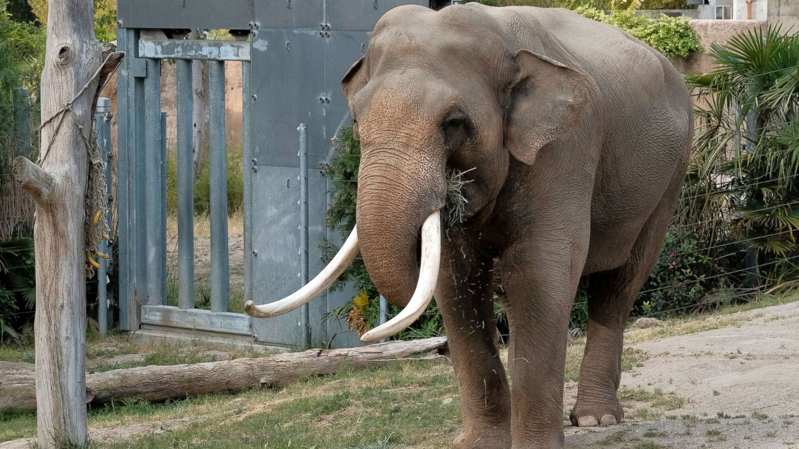 New Study Shows Elephants May Use Sense Of Smell Over Sight