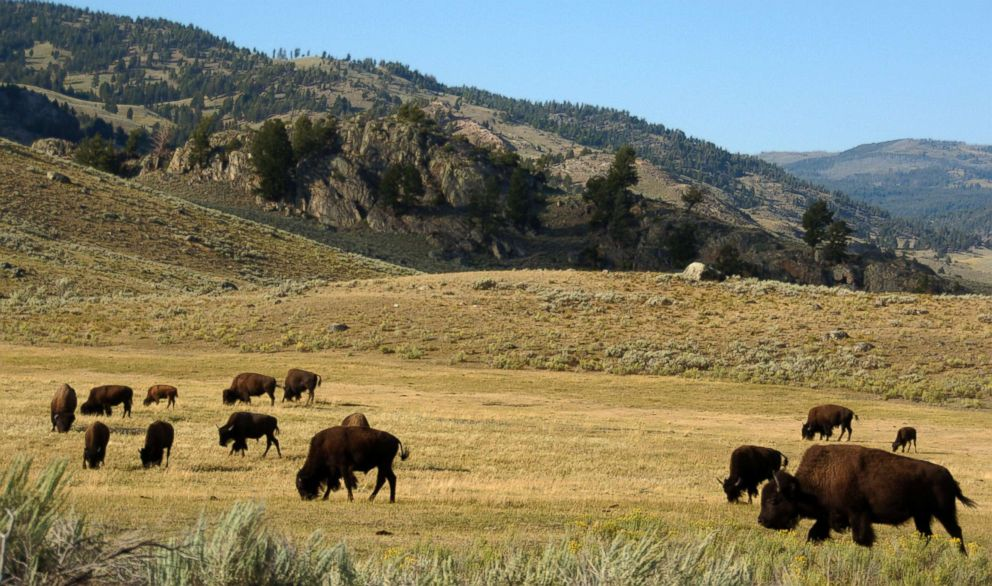 PHOTO: A herd of bison grazes in the Lamar Valley of Yellowstone National Park, Aug. 3, 2016.  These are the animal attacks that happened this week bison herd yellowstone file ap ps 180607 hpEmbed 22x13 992