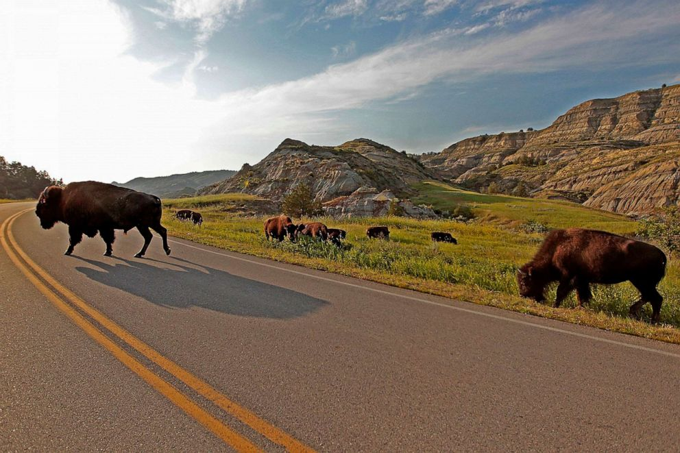 PHOTO: Bison make their way across one of the roads at Theodore Roosevelt National Park, July 23, 2014, in North Dakota.
