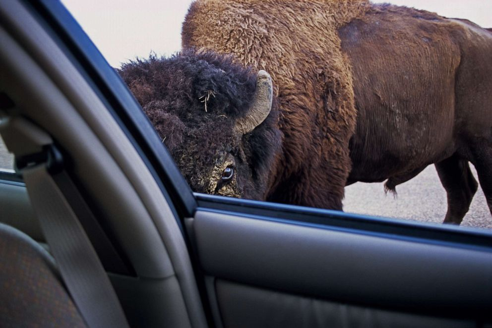 PHOTO: A bison bull stares at park visitor through open automobile window in Theodore Roosevelt National Park, North Dakota.