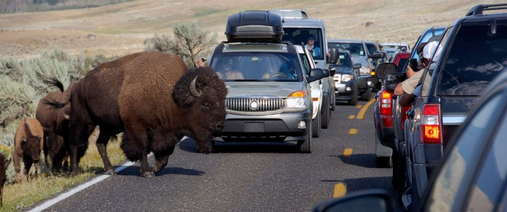 Bison attacks: How to stay safe from wildlife when visiting