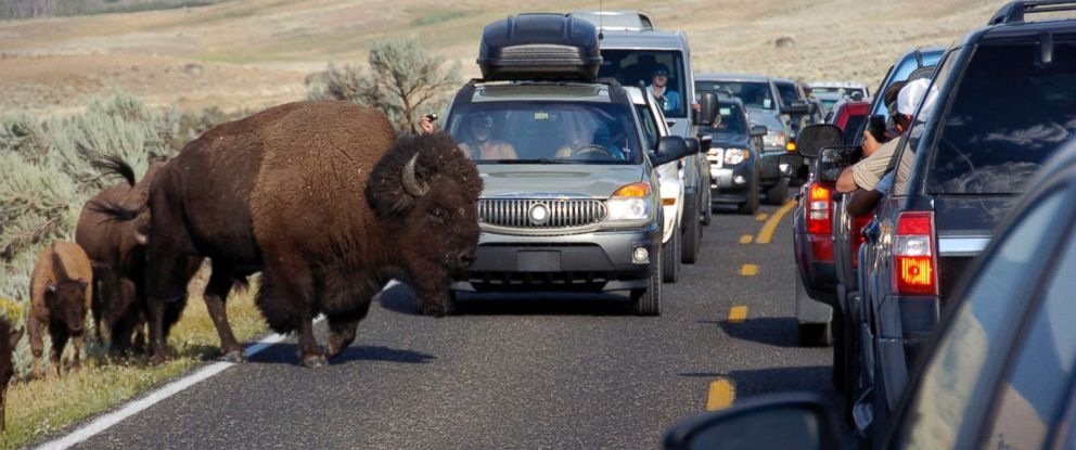 PHOTO: A large bison blocks traffic as crowds of tourists take photos in the Lamar Valley of Yellowstone National Park, Wyo., Aug. 3, 2016.