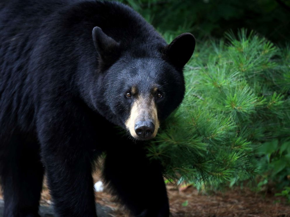 PHOTO: A black bear is seen in Ontario, Canada.