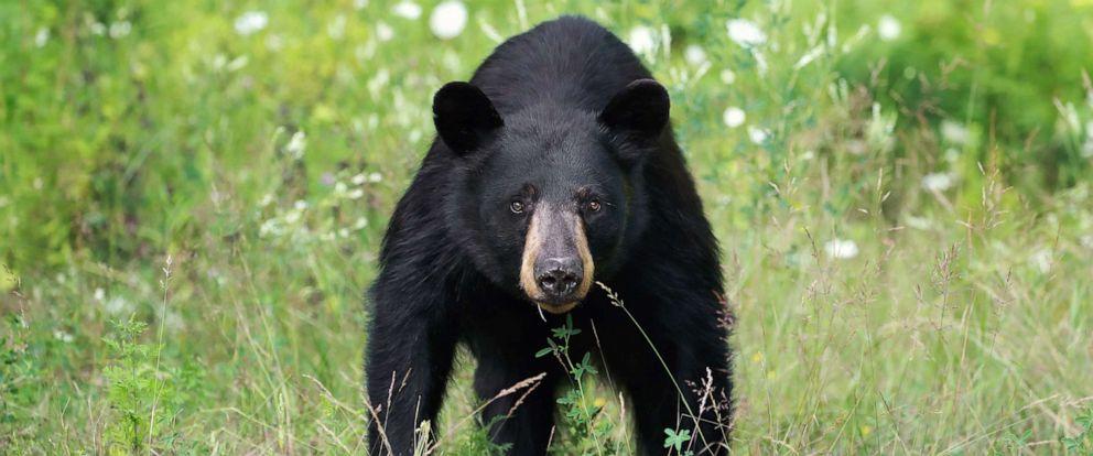 PHOTO: Wild Black Bear Sow in Ontario, Canada