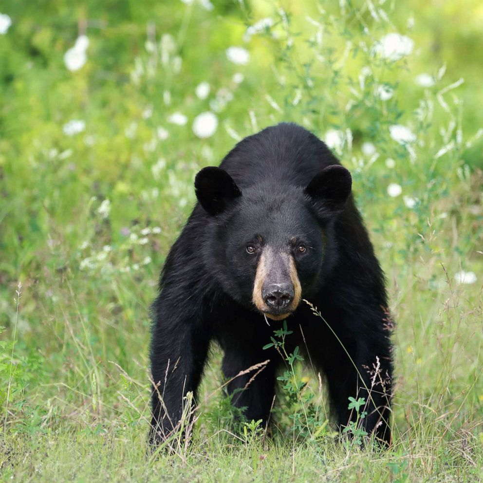Black Bear Attacks On Humans Are Rare But Often Begin As Scuffles With Dogs Experts Say Abc News