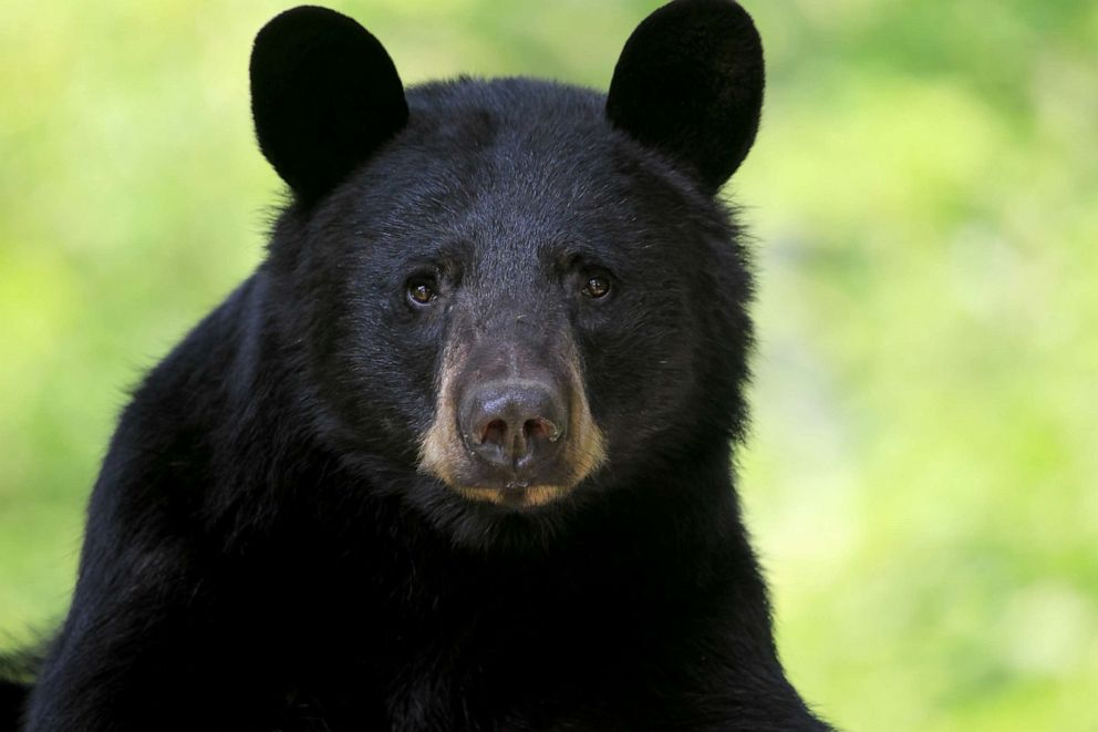 PHOTO: Closeup portrait of a wild Black Bear Sow in Ontario.