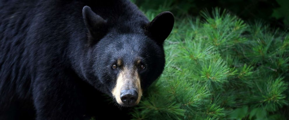 PHOTO: A black bear is pictured in this undated stock photo.