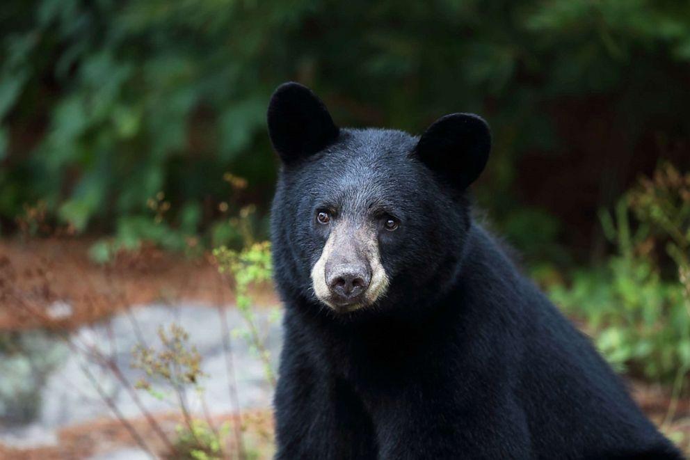 PHOTO: Closeup of a wild Black Bear in Ontario, Canada.