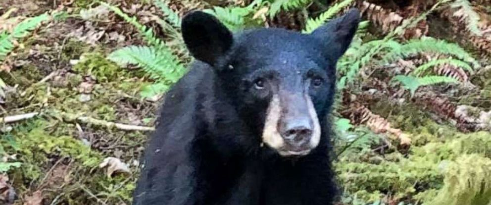 PHOTO: A young black bear was euthanized in Oregon after it became too friendly with humans, according to authorities.