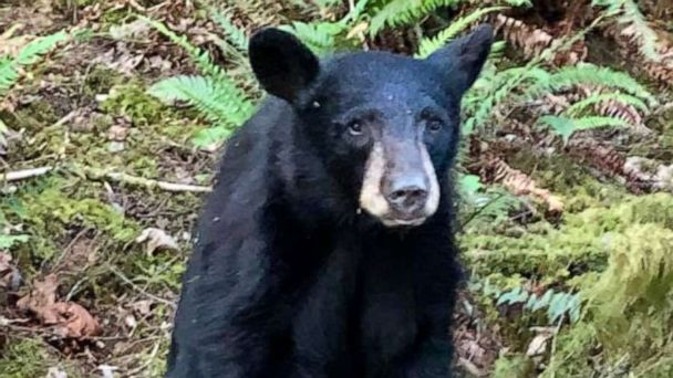 Oregon wildlife officials euthanize black bear cub after it became too friendly with humans