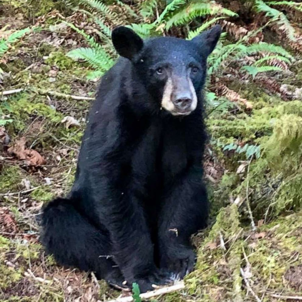 Oregon Wildlife Officials Euthanize Black Bear Cub After It Became Too Friendly With Humans Abc News
