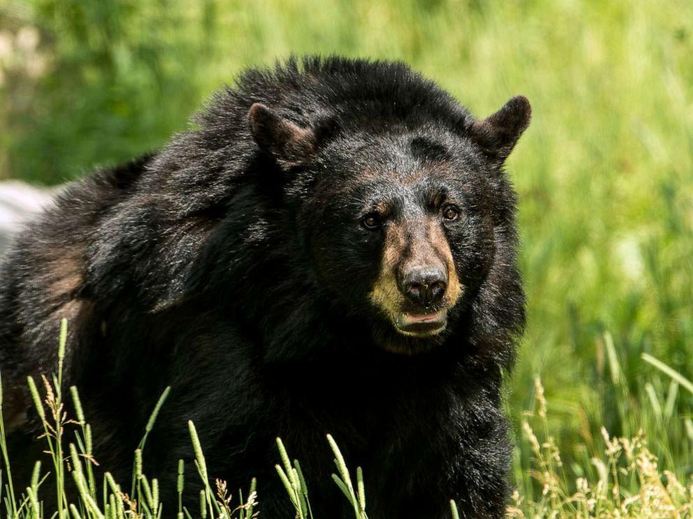 Dating Bear Kodiak Hunter DDoS Matchmaking
