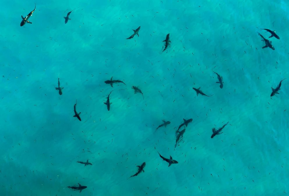 PHOTO: Black tip sharks are pictured during sunset in Destin, Fla., in this undated stock photo.
