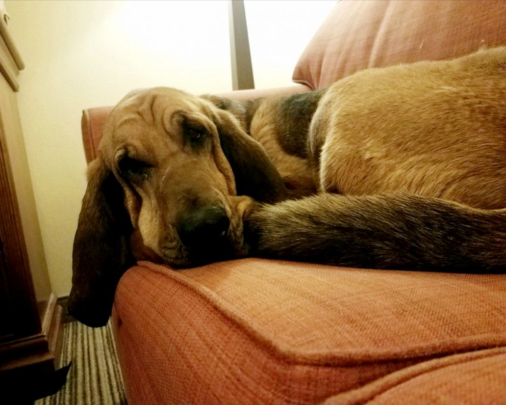 PHOTO: A bloodhound named Jesse rescued a 12-year-old girl missing in Wyoming.