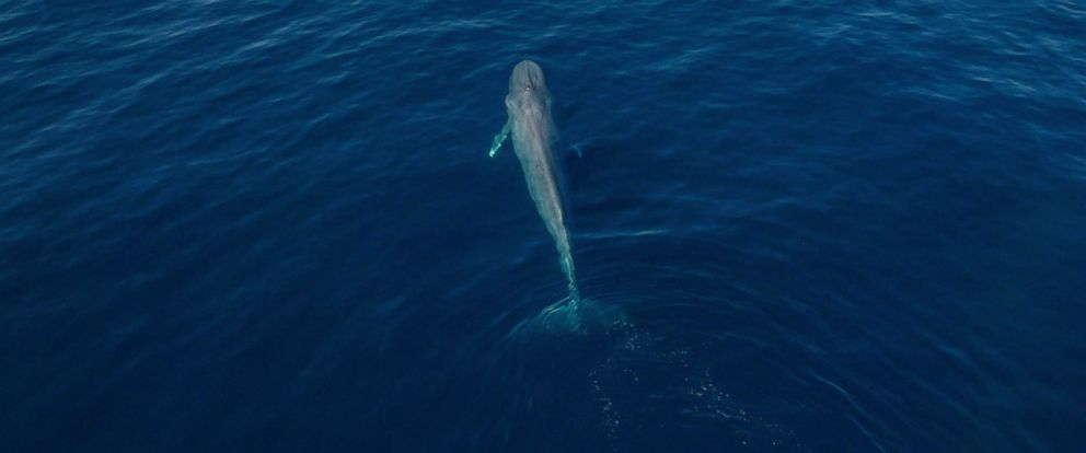 PHOTO: A blue whale swims in an an undated stock photo.