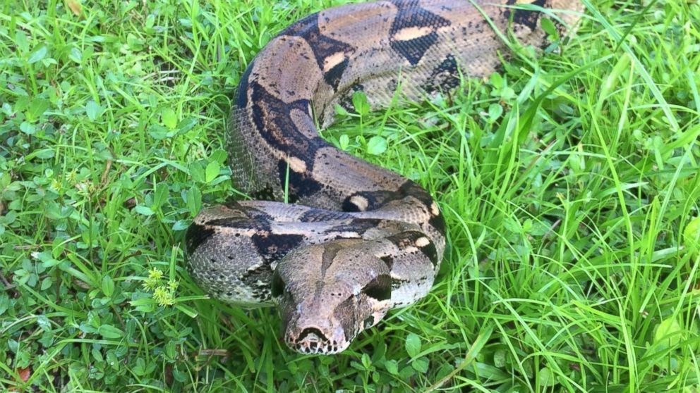 Englewood, Florida resident Mark Lampart, 19, and his girlfriend, Kyleigh Wofford, 18, work together to remove snakes in the area.
