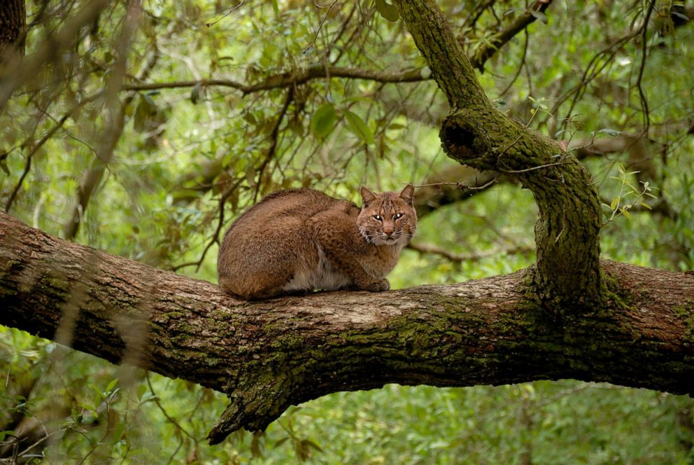 PHOTO: A bobcat is seen in a tree in Florida.