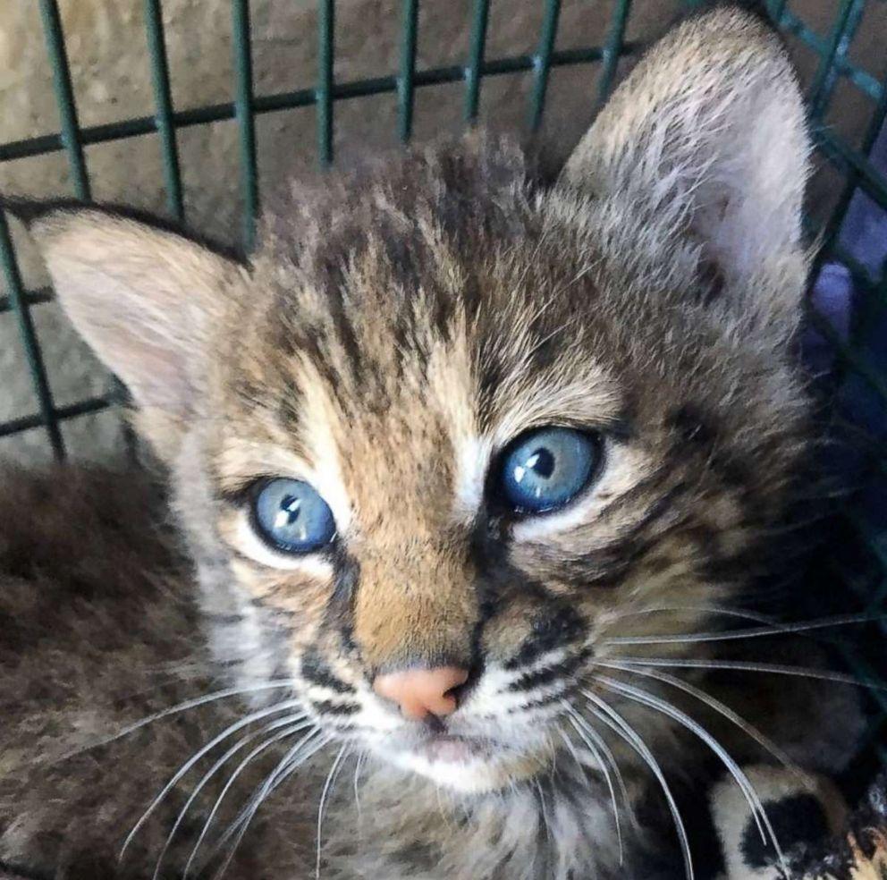 3 injured after handling bobcat kittens they mistook for ...