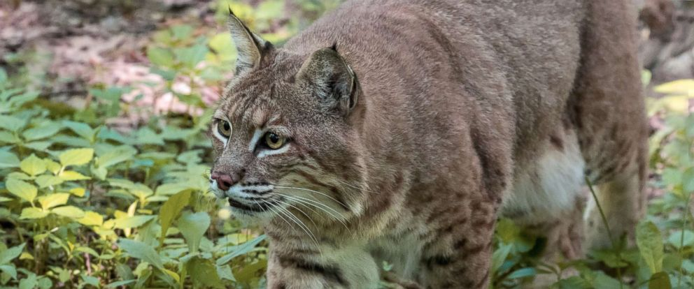 Woman strangles possibly rabid bobcat after it attacks her