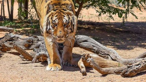 Tiger attacks Arizona animal sanctuary director, former Las Vegas illusionist