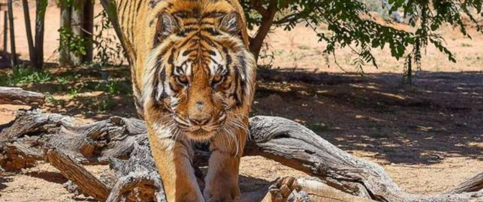 PHOTO: Bowie, an 11-year-old tiger, attacked the director of the animal sanctuary where he lives on Monday, April 22, 2019.