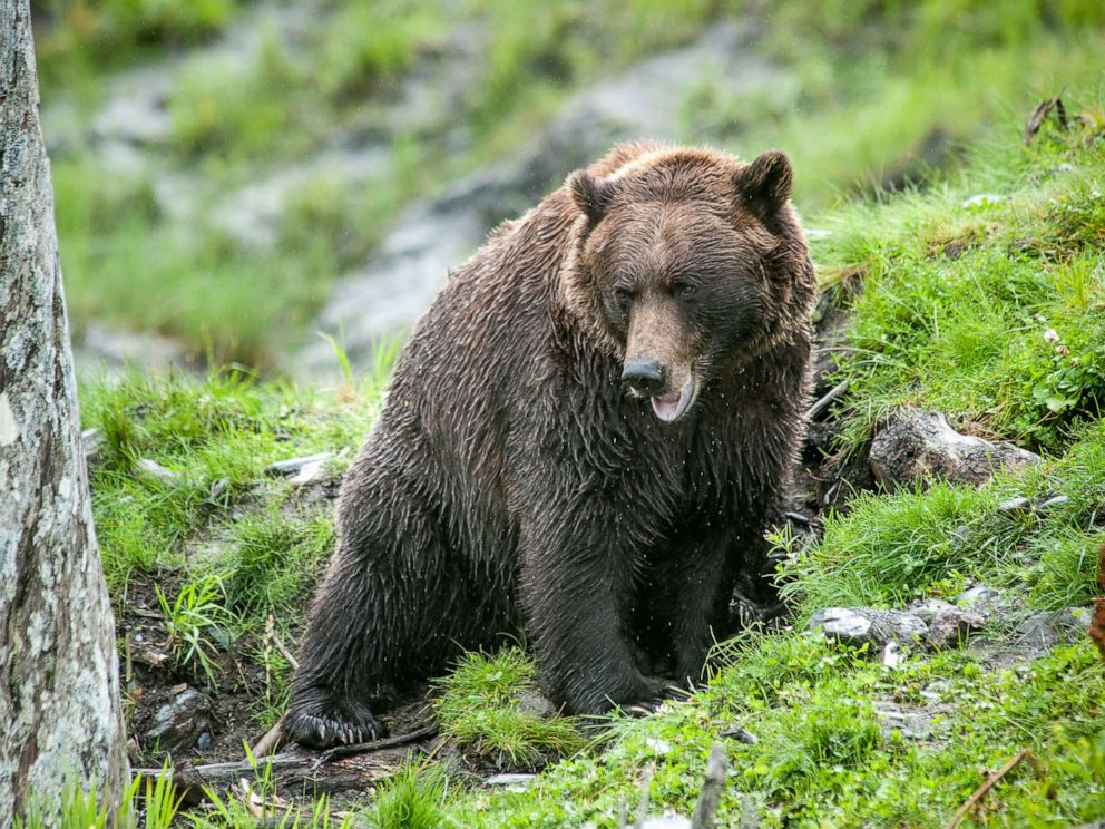 PHOTO: A brown bear climbs up a mountain side in Alaska in this undated file photo.