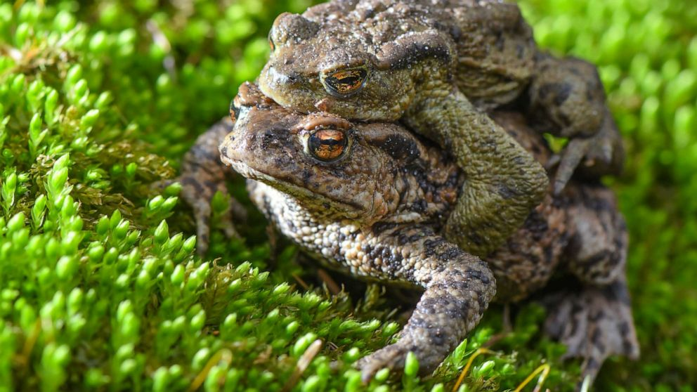 A pair of earth toads (Bufo bufo) crawl over moss on the edge of a small pond, March 22, 2019.