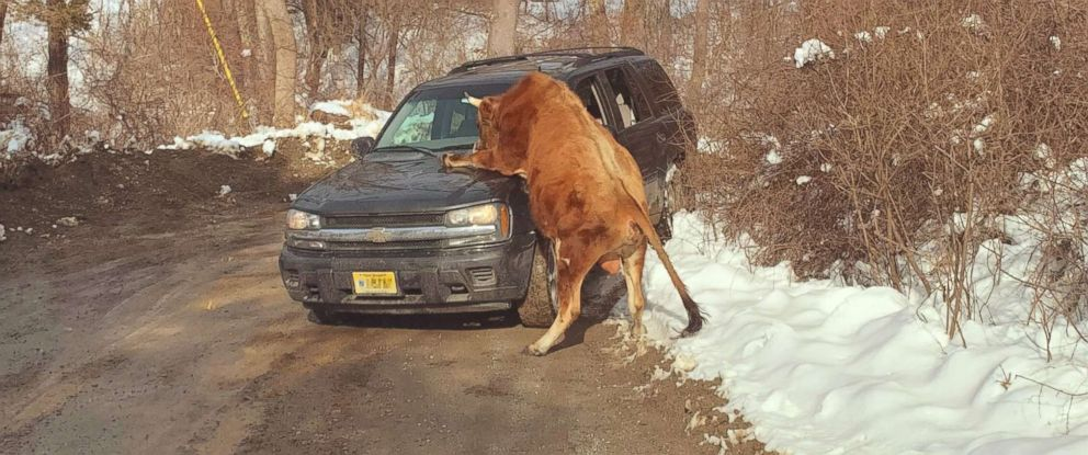 PHOTO: Police in Sparta Township, N.J., responded to calls after this bull got out of its enclosure and started charging cars, including his owners car, March 8, 2019.