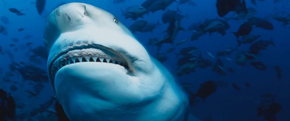 PHOTO: A bull shark is pictured in this undated stock photo.