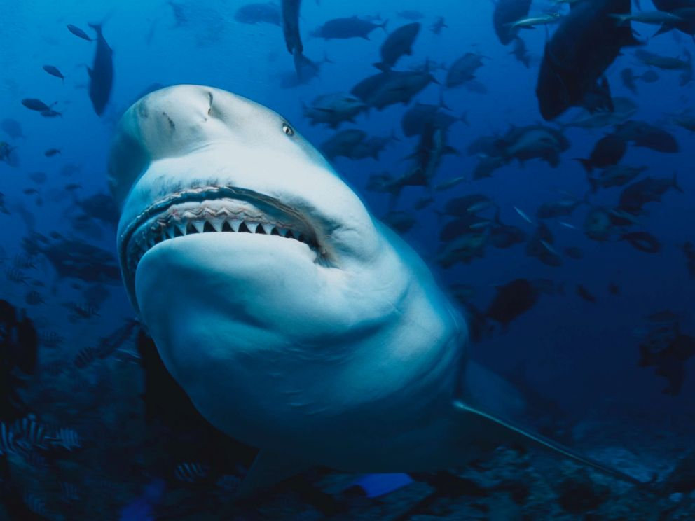 PHOTO: A bull shark is pictured in this undated stock photo.  5 major headlines to start the week bull shark gty jt 180804 hpMain 4x3 992