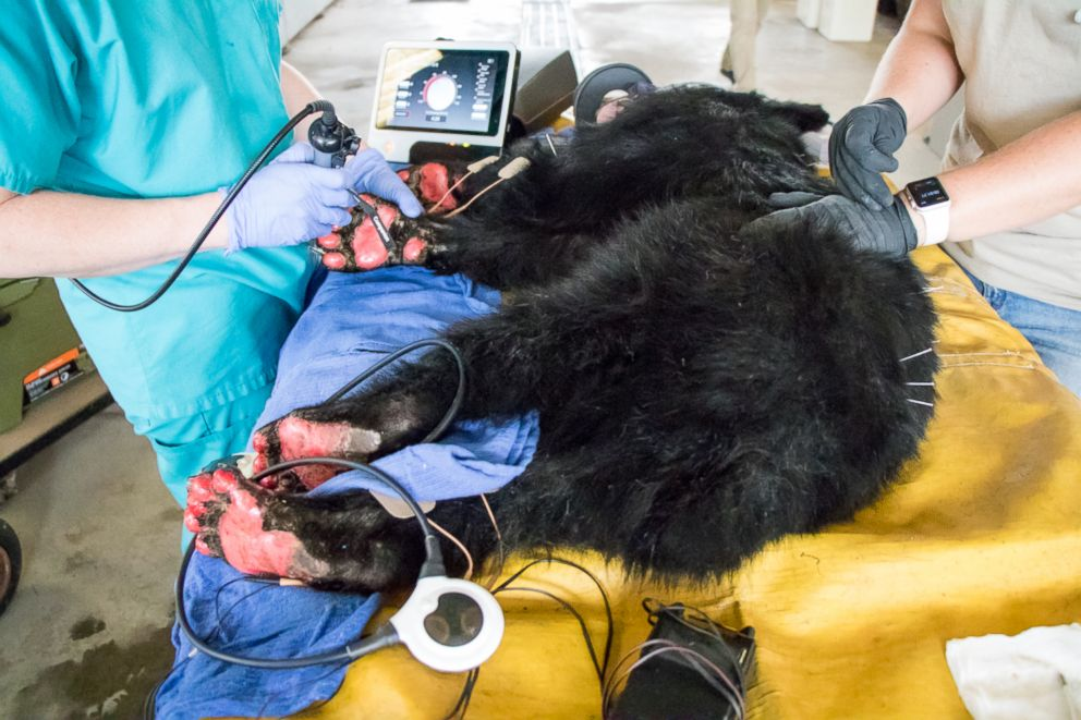 PHOTO: A young, female bear with paws badly burned in the Carr Fire is rescued by the California Department of Fish and Wildlife.
