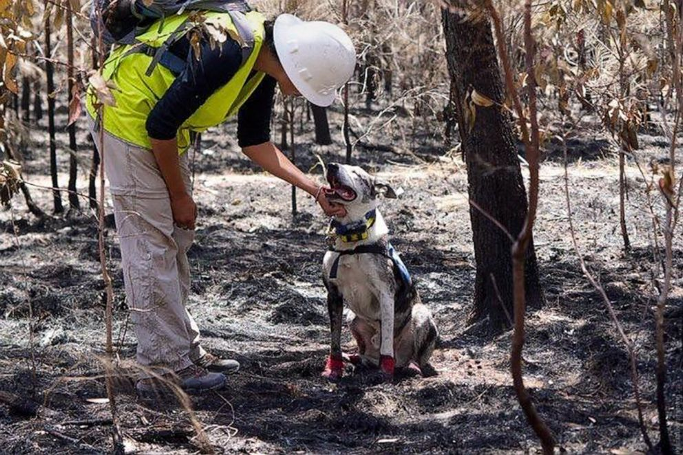 PHOTO: Bear, a koala detection dog from the International Fund for Animal Welfare, joined the rescue efforts in Bungawalbin National Park, Australia.