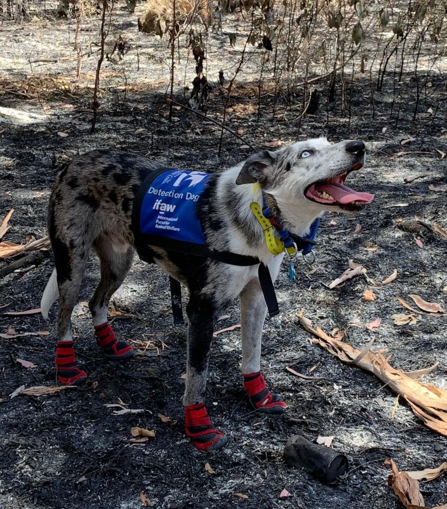 PHOTO: Bear, a koala detection dog from the International Fund for Animal Welfare, joined the rescue efforts in Bungawalbin National Park, searching an area recently decimated by fires. Bear indicated the presence of koalas at several sites.
