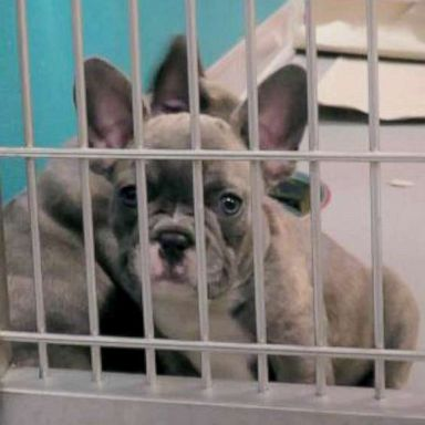 CDC to block imports of dogs from Egypt, citing rabies concerns | GMA